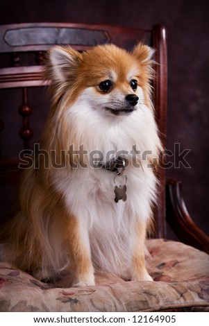 Pomeranian puppy sitting pretty on a cushioned wooden chair.