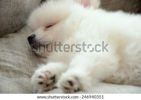 Pomeranian puppy sleeping in the bed closeup. horizontal - stock photo