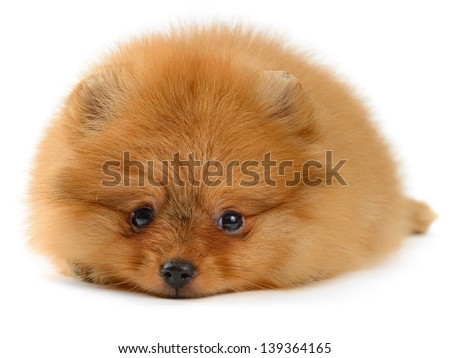 pomeranian puppy the age of 1,5 month isolated on white - stock photo