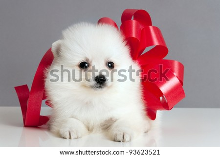 Pomeranian puppy with a red bow , waiting to be given as a present.