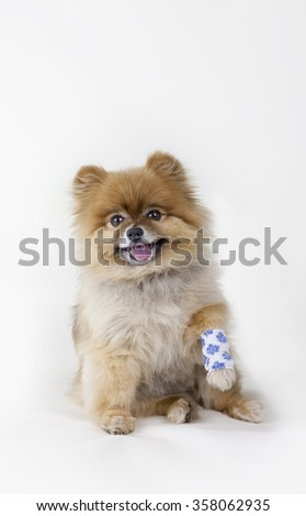 Pomeranian puppy with an injured leg wrapped in bandage - stock photo