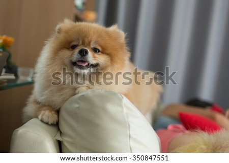 pomeranian small dog cute pets friendly in home - stock photo