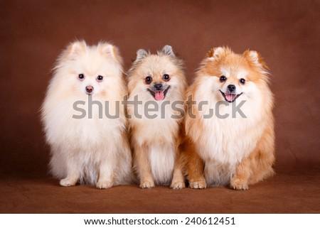 Pomeranian Spitz dog - stock photo