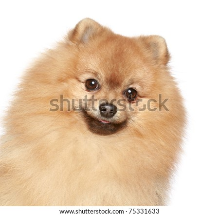 Pomeranian Spitz dog. Close-up portrait on a white background