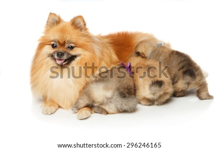 Pomeranian Spitz dog feeding her  two months old puppies . Studio shoot isolated.