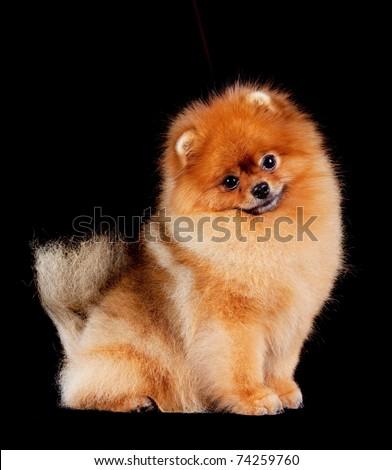 Pomeranian (spitz) dog, isolated on black background. - stock photo