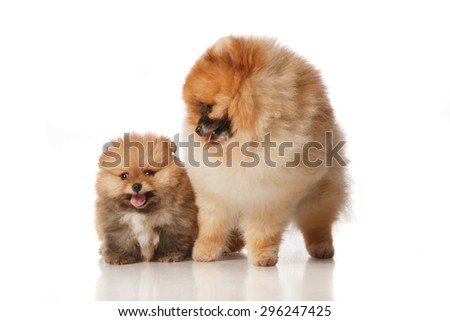 Pomeranian Spitz dog male with his two months old puppie . Studio shoot isolated. - stock photo