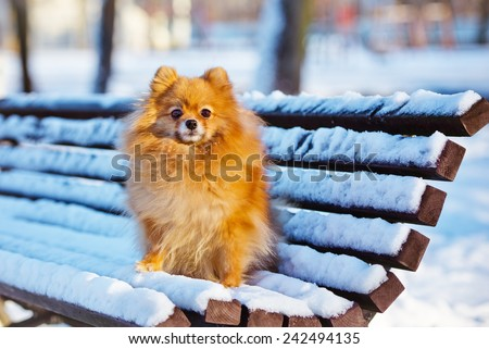 pomeranian spitz dog on a snowy bench - stock photo