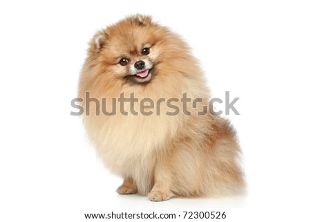 Pomeranian Spitz dog sitting on a white background - stock photo