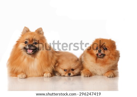 Pomeranian Spitz dogs male and female with their two months old puppie . Studio shoot isolated. - stock photo