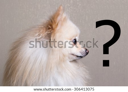 Pomeranian spitz portrait beside a question mark - stock photo