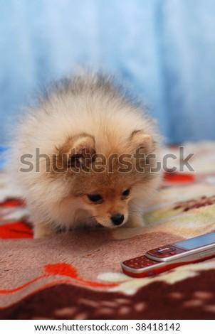 Pomeranian spitz puppy look on mobile phone - stock photo