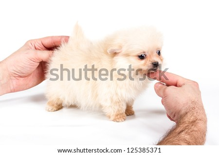 Pomeranian Spitz puppy on a white background