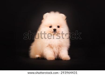 Pomeranian Spitz puppy sitting on a black background - stock photo