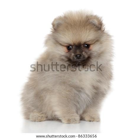 Pomeranian spitz puppy sitting on white background - stock photo