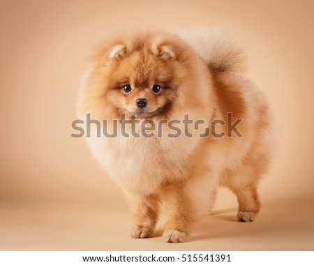 pomeranian spitz red long coat on tan background
