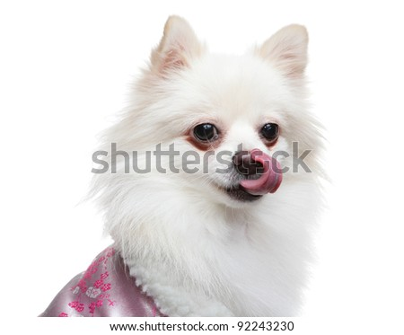 pomeranian wait for yummy food - stock photo