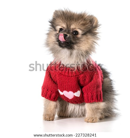 pomeranian wearing red sweater with hearts - stock photo