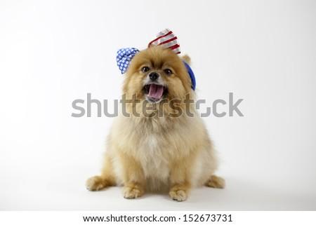 Pomeranian with patriotic headband singing Star spangled banner - stock photo