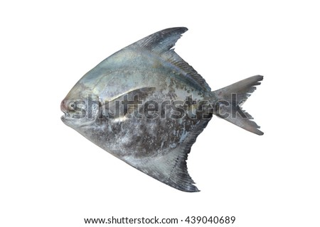 pomfret fish isolated on white background