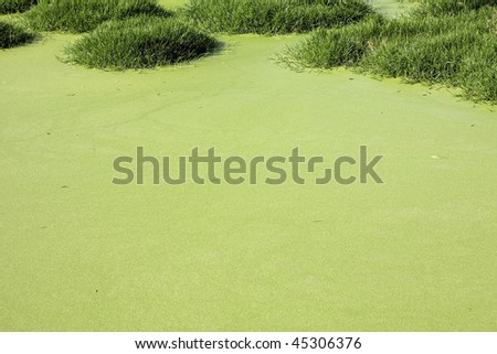 Pond covered with algae.