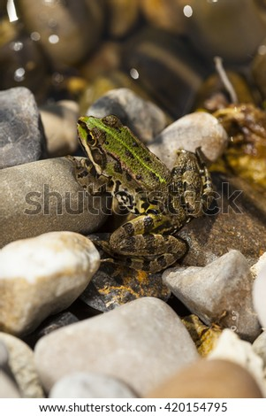 pond frog Pelophylax kl. esculentus - stock photo