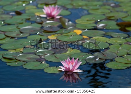 Pond Lilies - stock photo