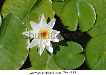 Pond lily - stock photo