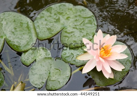 pond lily in the pond