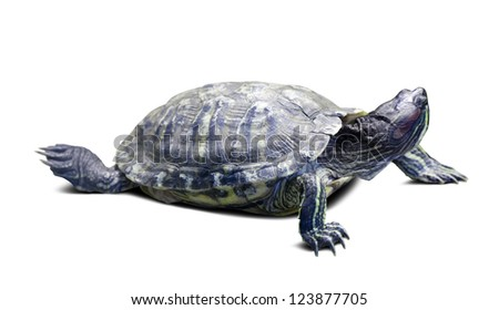 Pond slider (Trachemys scripta). Isolated over white background with shade