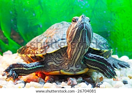 pond terrapin - stock photo