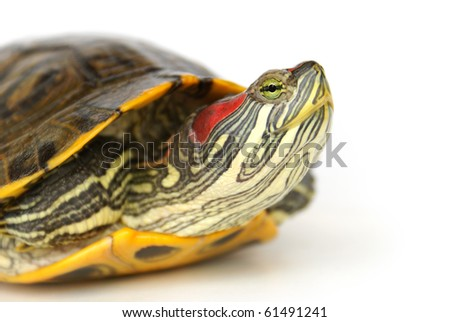 Pond terrapin close-up on a white background. Selective focus. - stock photo