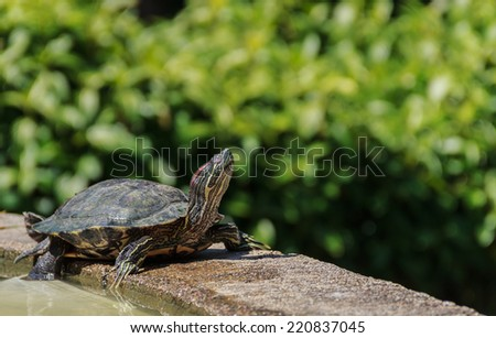 Pond terrapin  in sunshine day - stock photo