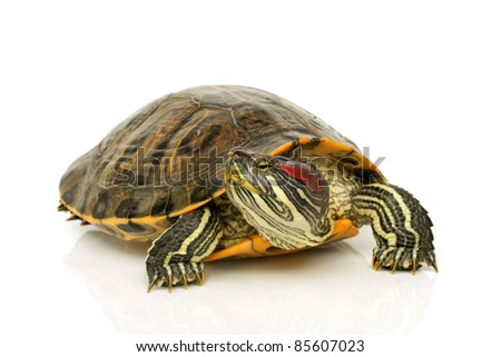 Pond terrapin on a white background - stock photo
