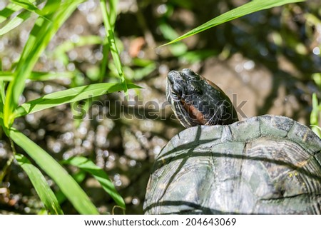 Pond Turtle Close Up - stock photo