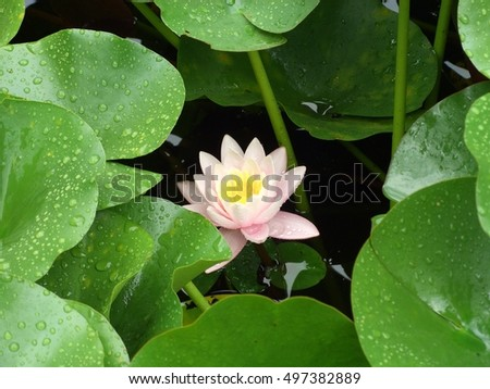 pond, water lily, pink flower, drops on leaves