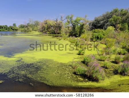 Pond with green algae - stock photo