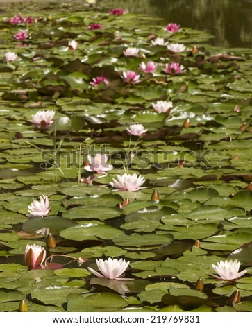 Pond with many water lilies of pink and crimson colors, vertical. - stock photo