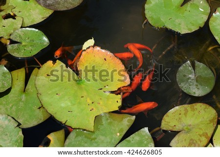 Pond with red fish and water lily plant leaves. - stock photo