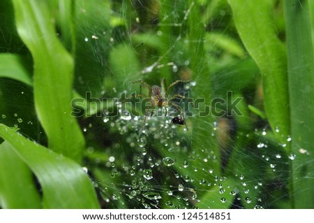 Pond Wolf Spider on web after rain - stock photo