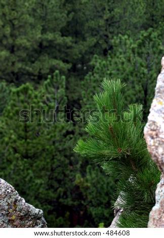 Ponderosa Pine Tree growing on rock in the Black Hills of South Dakota - stock photo