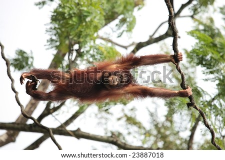 Pongo species - orangutan hanging from tree - stock photo