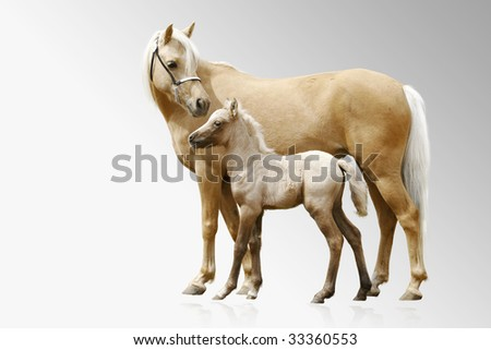 ponies mare and foal - stock photo