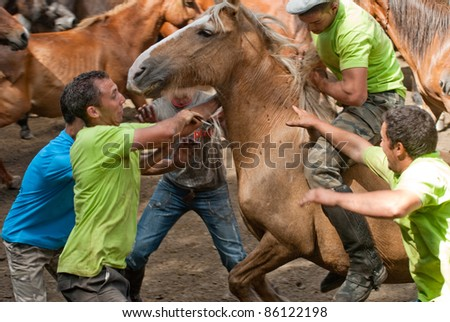 "PONTEVEDRA - AUGUST 7: Fighters (Loitadores) try to tame horse, separating the offspring of wild horses, in a traditional celebration ""Haircut to the beasts"" on August 7, 2011 in Pontevedra, Spain."