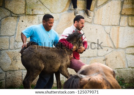 PONTEVEDRA, SPAIN - AUGUST 5: Unidentified fighters (Loitadores) try to tame horse, separating the offspring of wild horses, in a traditional celebration on August 5, 2012 in Pontevedra, Spain.