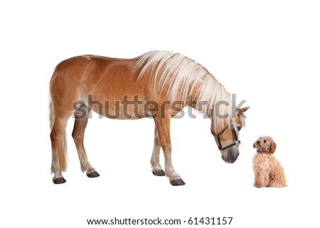 pony and a mixed breed dog isolated on a white background - stock photo