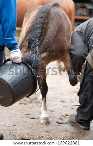 Pony being distracted with food so she behaves for the farrier - stock photo