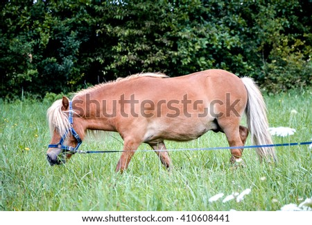 Pony horse is pasture feeding on the meadow. Shetland Norwegian pony is feeding on green grass with forest in the background. Animal in nature - stock photo