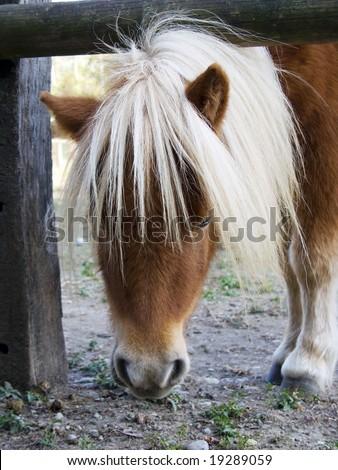 pony muzzle with white long mane - stock photo