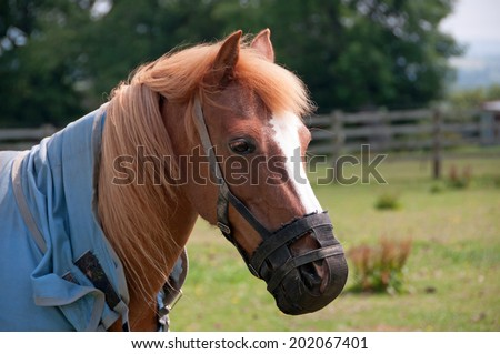 Pony wearing a grazing muzzle to help prevent over eating on the summer grass - stock photo